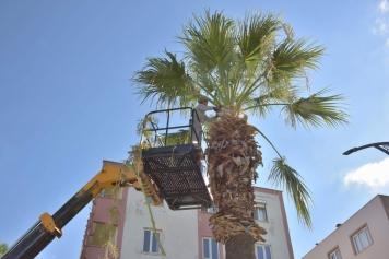 Aliağa'daki Palmiyeler Budanıyor Galeri